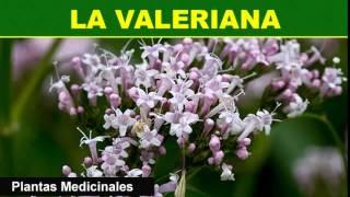 199   La Valeriana   Plantas Medicinales
