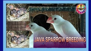 Java sparrow breeding (white),