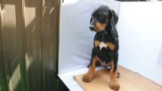 ドーベルマン子犬!!<子犬の利根リバーサイド・http://www.tone-rs.co...