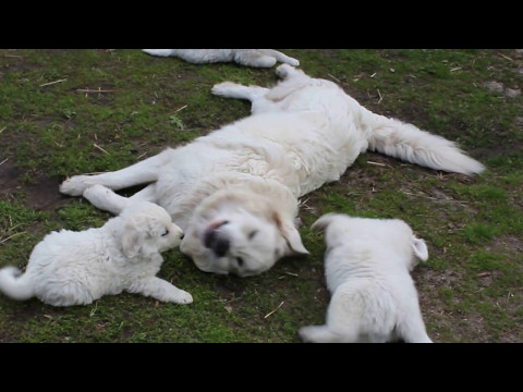 Polish Tatra Sheepdog -play with the puppies .Puppies for sale