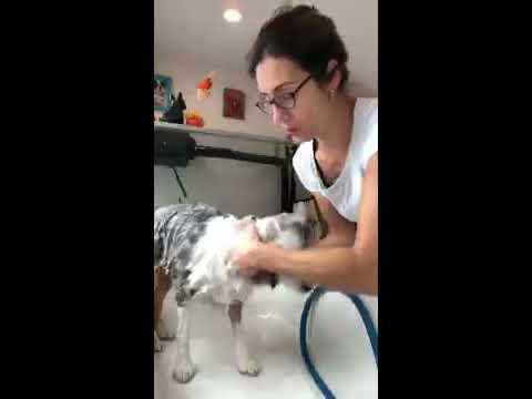 Quin's Quick Groom—Grooming a Miniature Australian Shepherd!