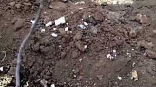 видео Выращивание винограда в теплице, на даче, способы выращивания в бочках