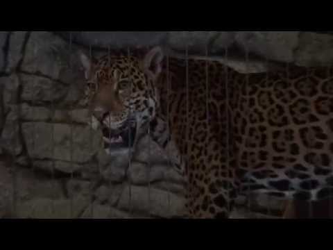 Jaguar Roaring at Lincoln Park Zoo - Chicago