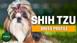 Shih Tzu Dog Breed Profile | Dogs 101  Shih Tzu