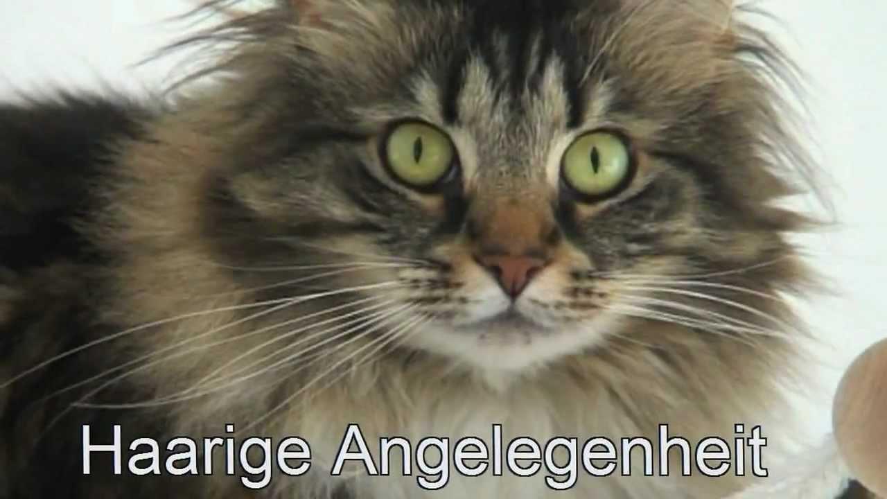 Norwegische Waldkatzen Haarige Angelegenheit Youtube