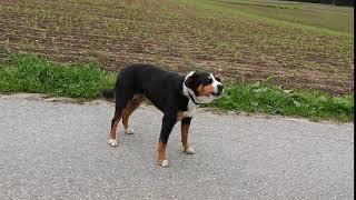 ヤギちゃんを見ていたらやって来たわんこ 多分スイス原産の使役犬 Entle...