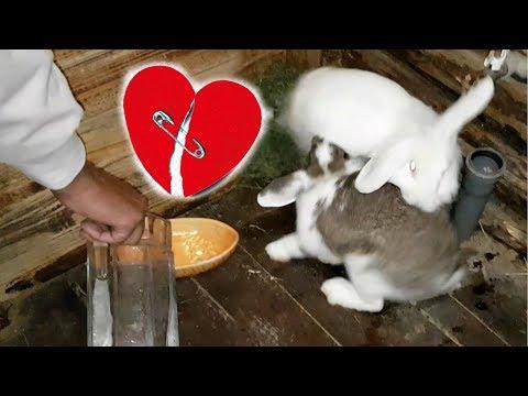 Вопрос: Как познакомить кроликов?