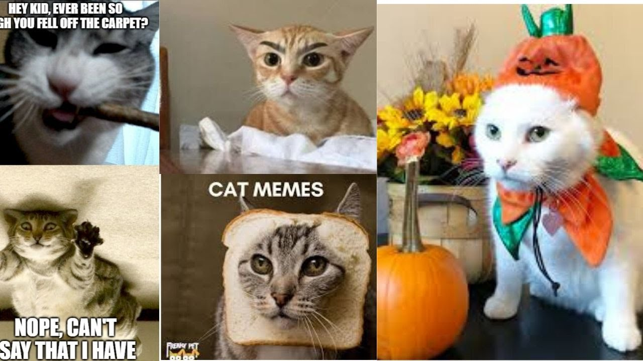 best dank cat memes compilation of 2020   funny cat memes ...