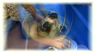 Как и чем мыть Перуанскую Длинношёрстную морскую свинку? - THOR - МиШГ ВИКОНТ