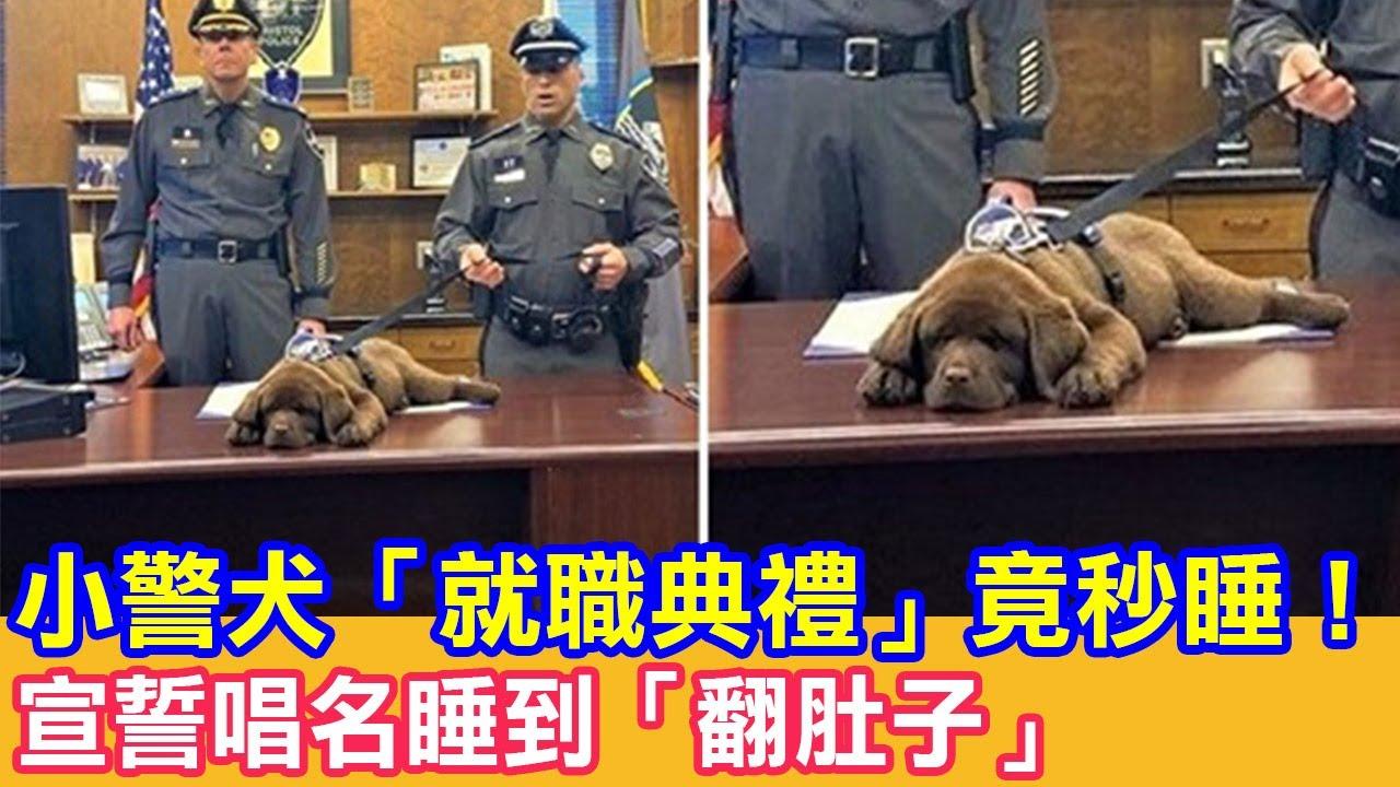 小警犬「就職典禮」竟秒睡!宣誓唱名睡到「翻肚子」|狗狗搞笑|狗哥
