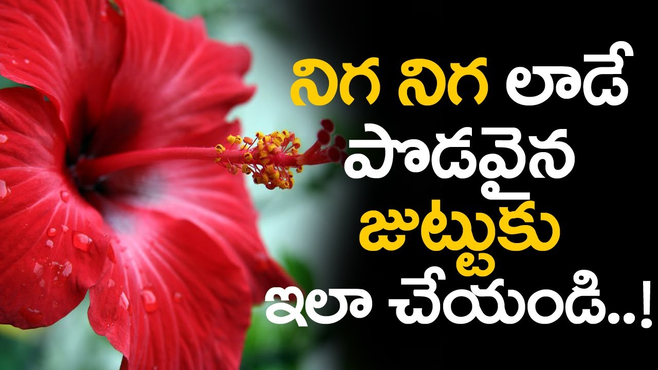 Hibiscus leaves for hair growth benefits of hibiscus flower for hibiscus leaves for hair growth benefits of hibiscus flower for hair izmirmasajfo