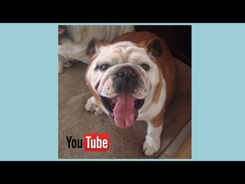 how to train your bulldog puppy: basic commands