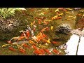 Fish Pond with Relaxing Nature Sounds