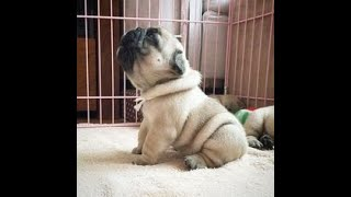 The best pug memes ever!