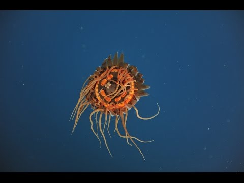 Creatures Of The Deep | Atolla Jelly