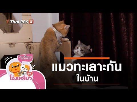แมวทะเลาะกันในบ้าน : ผู้พิทักษ์รักโฮ่งเหมียว (29 พ.ย. 62)