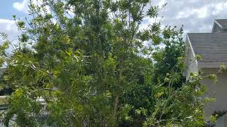 How to cut down a bottle brush tree