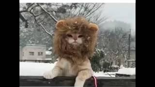 Отличная львиная  шапка для вашего кота!