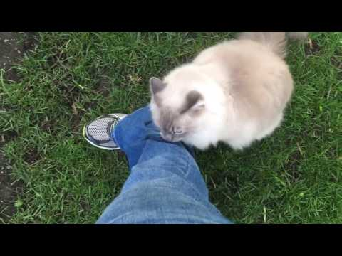 Charlie in a Tree - Ragdoll Cats Outside May 2017 - Floppycats