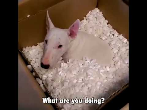 Funny, Cute, Crazy And Epic moments Bull Terriers Dogs [Viral Video]