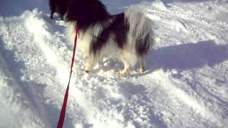 Elvis- Black And Tan Parti Pomeranian, Male