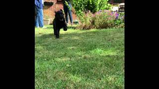 2 Months with a Flat Coated Retriever Puppy