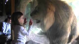 sofia紐西蘭小女孩不怕獅子4th january 2012 youtube flv