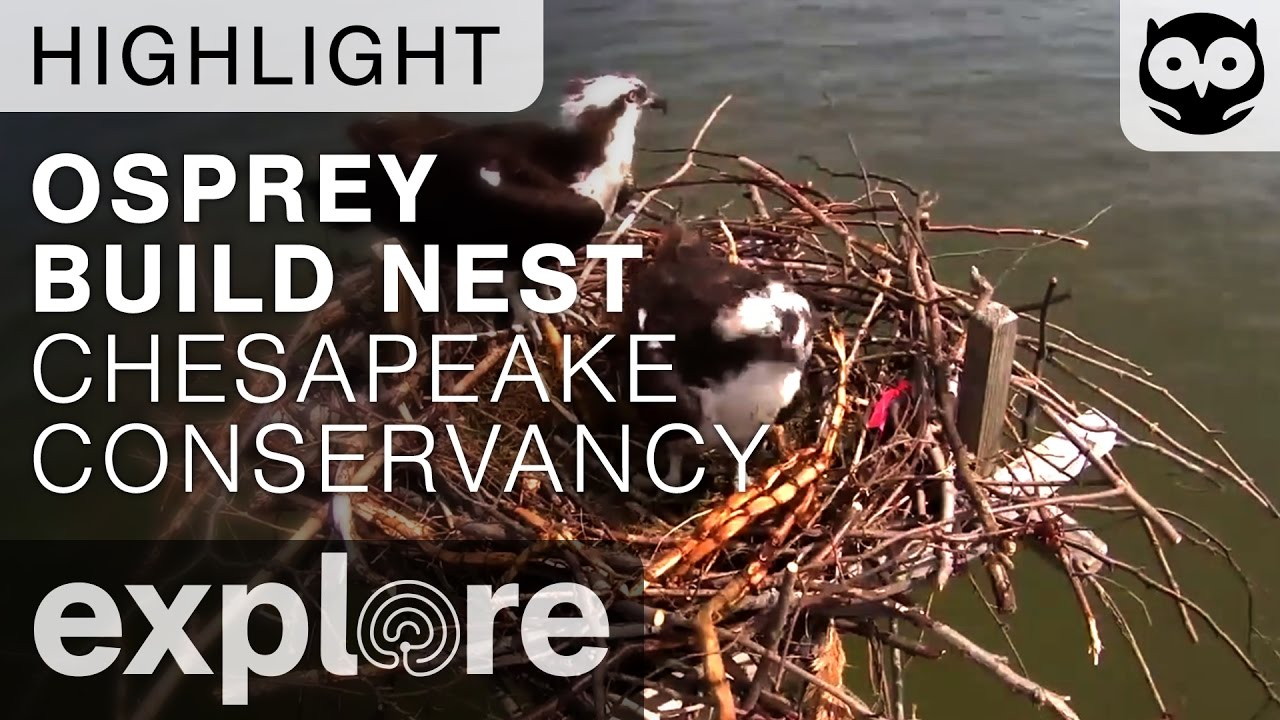 Osprey Building Time-lapse At The Chesapeake Nest