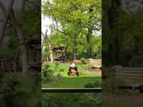 Meal time for The pandas at the Berlin Zoo