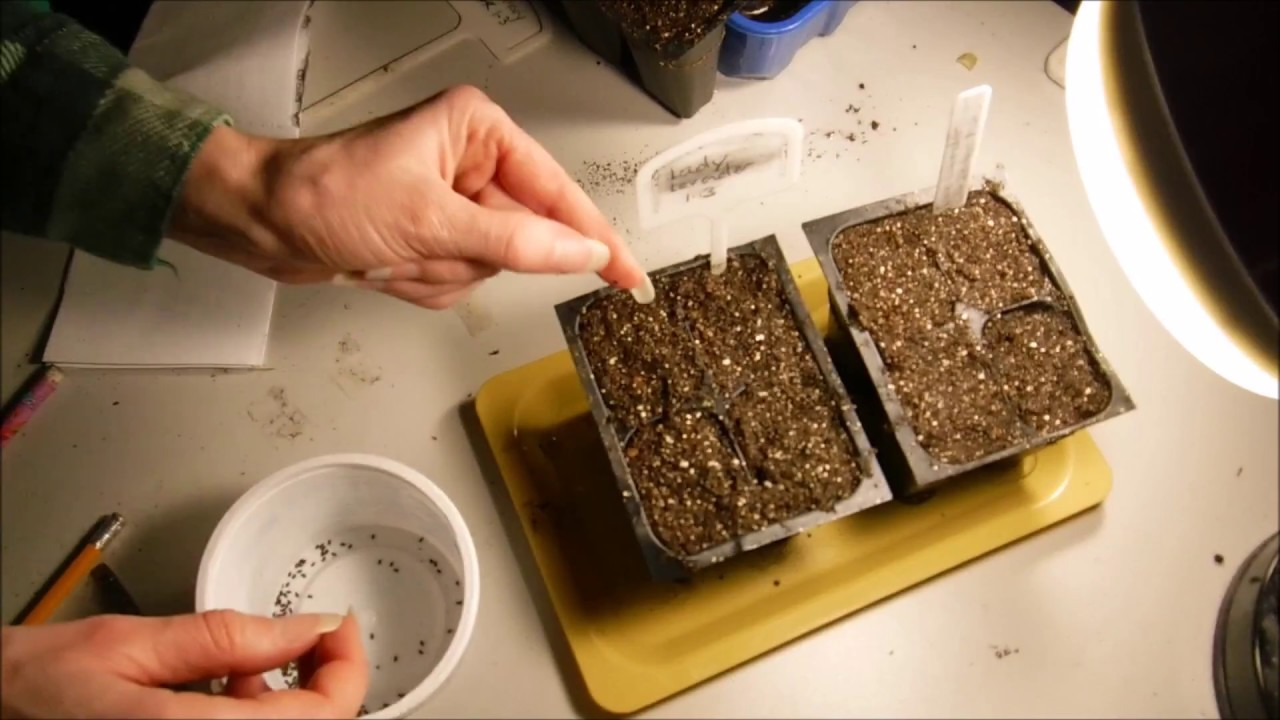 how to grow lavender from seed youtube