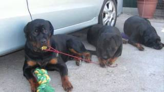The True Rottweiler.wmv