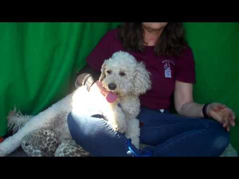 RESCUED! A5093030 Everett | Miniature Poodle