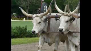 Video Oxen at Lazar Equestrian Park Hungary.MOV download MP3, 3GP, MP4, WEBM, AVI, FLV September 2018