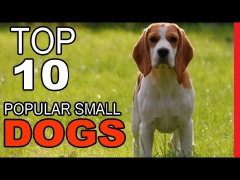 Top 10 Most Popular Small Dog Breeds