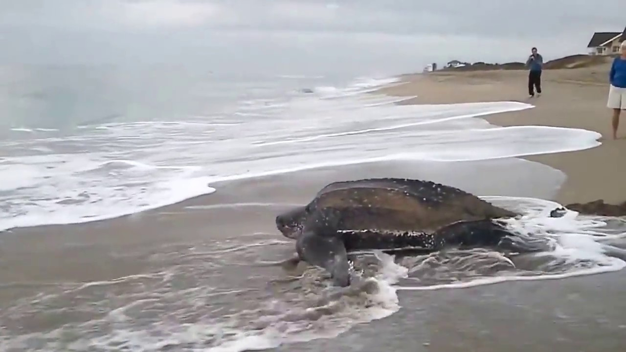 The biggest turtle in the world 87