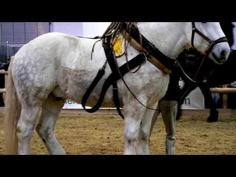 Порода лошади. Першерон . Очень сильные и выносливые лошади.