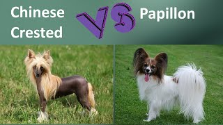 Chinese Crested VS Papillon  Breed Comparison  Papillon and Chinese Crested Differences
