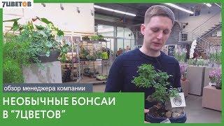 Бонсай из Клёна, Фикуса и других растений в 7ЦВЕТОВ