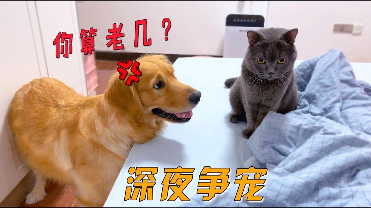 猫咪上床和主人玩耍,金毛醋意大发:嫉妒使我面目全非!