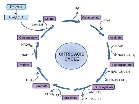 Krebs Cycle Memorize Within 30 Seconds Youtube
