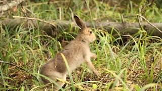 Выпуск зайцев в природу
