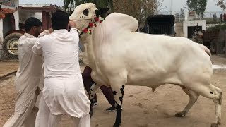 PRINCE 2 🔥🔥❤️ || Biggest DONDA Beauty || Masha Allah || Gulf Cattle Farm || Collection 2019