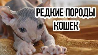 Самые редкие породы кошек  / Интересные факты о кошках