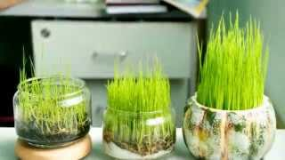 Rice growing time-lapse, Video time-lapse sự phát triển của lúa - Full HD