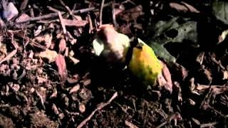 クマゼミの羽化の様子の動画です.