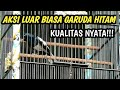 Aksi Kacer Garuda Hitam Kualitas Nyata  Mp3 - Mp4 Download