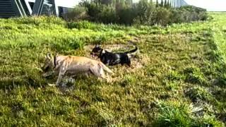Rottie X Staffy & Labrador Play In Mud!