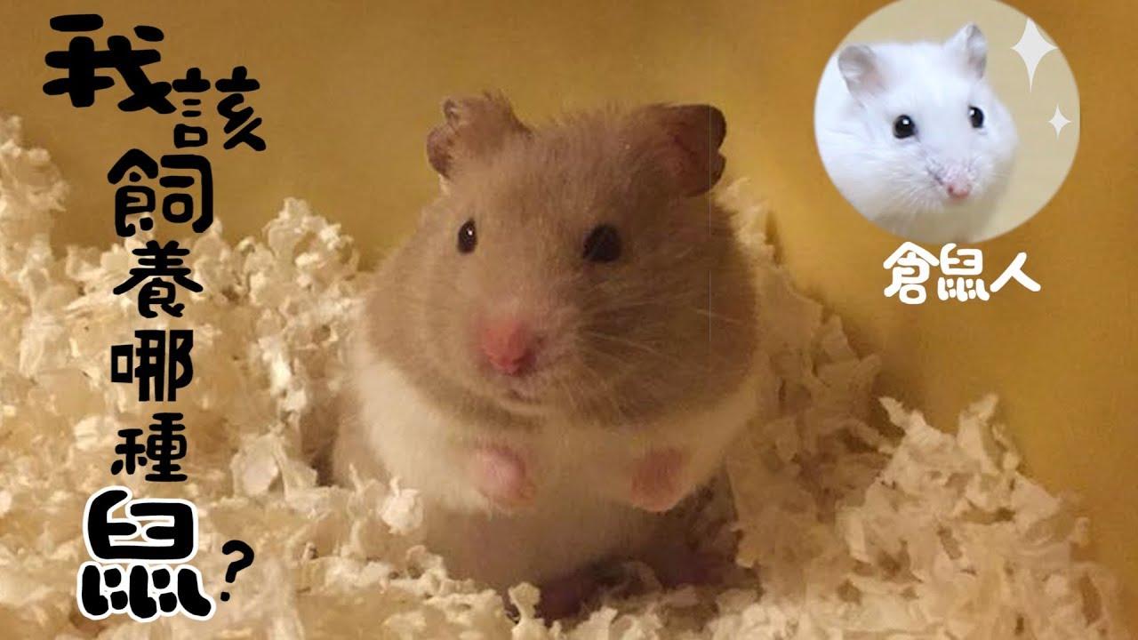 《倉鼠人》我適合養什麼鼠?七種類鼠飼養分享! - YouTube