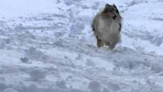 Blue Merle Rough Collie playing in snow