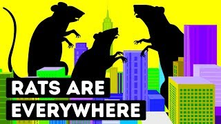 That's Why Big Cities Can't Get Rid of Rats